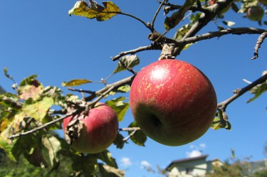 New Game: Apple Variety or New England Town? (AUDIO)